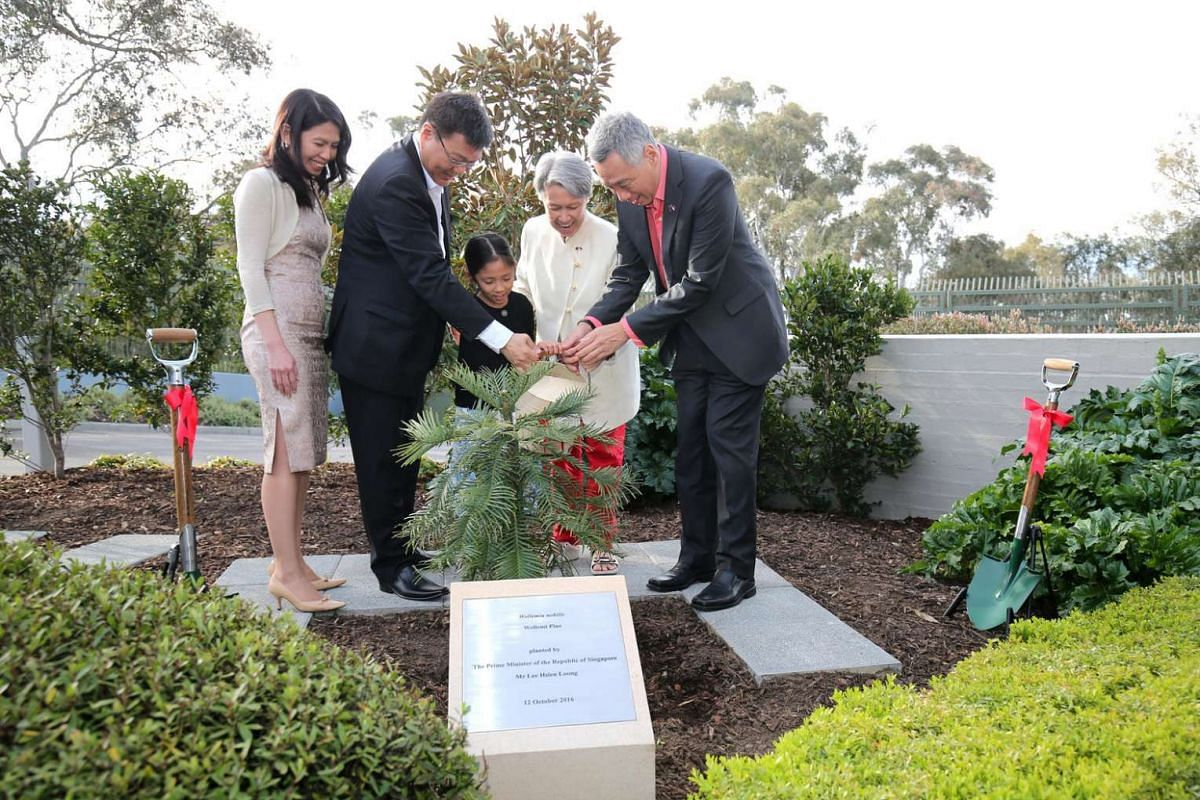 PM Lee Hsien Loong planted a Wollemi Pine - a long-living coniferous tree previously thought to be extinct - at the Singapore High Commission. It is the same species that then-PM Tony Abbott gifted to Mr Lee when he visited Singapore last year.