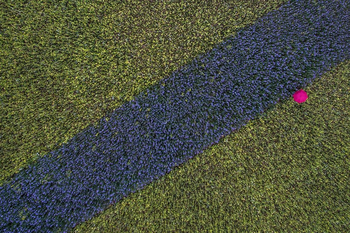 An aerial view shows a pink umbrella in a field with blue and yellow plants in Cologne, western Germany, on October 13, 2016. PHOTO: AFP