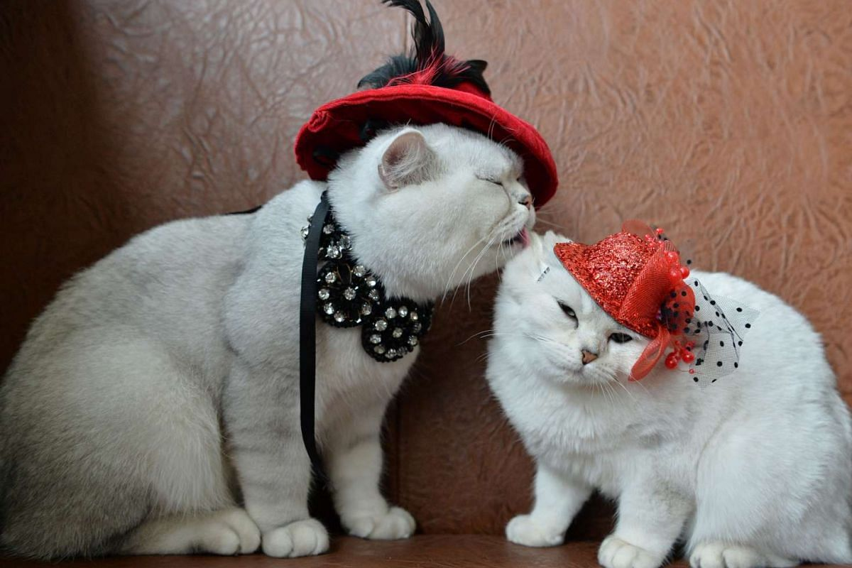Two Scottish shorthair cats dressed with red hats are pictured during a cat exhibition in Bishkek, on Oct 16, 2016.
