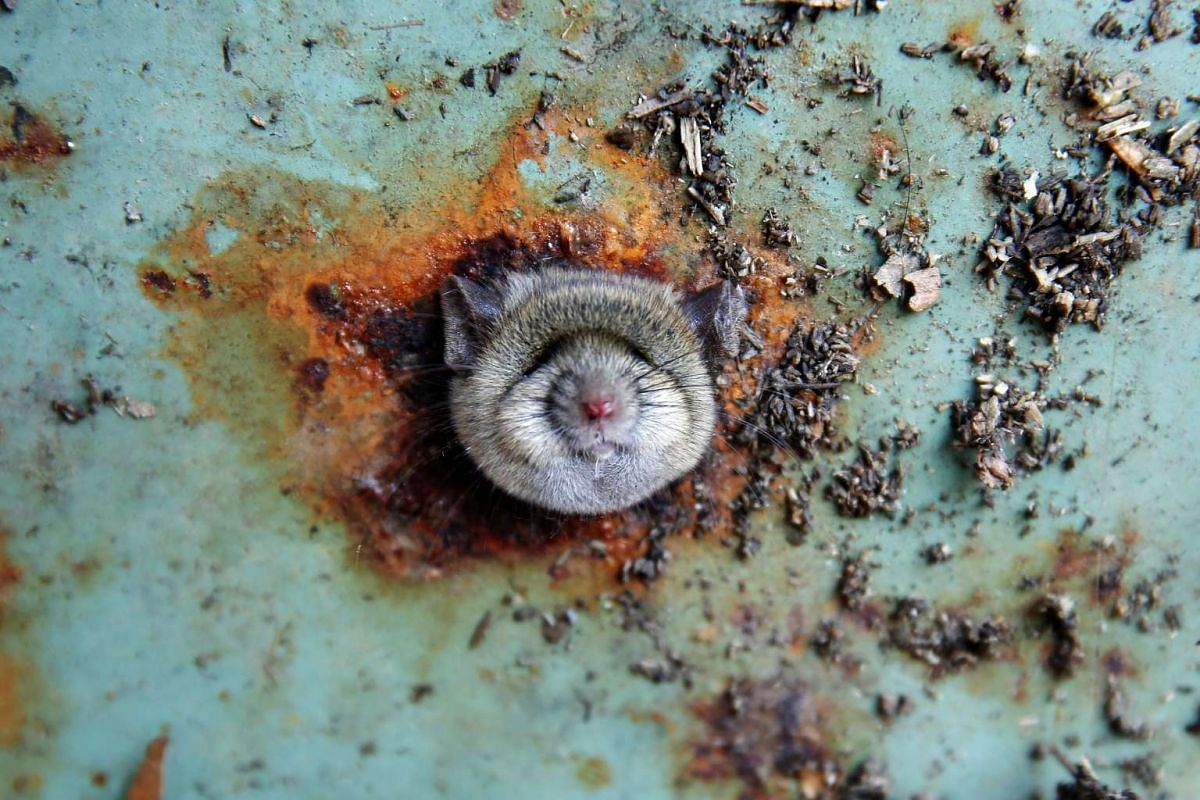 A rat's head rests as it is constricted in an opening in the bottom of a garbage can in the Brooklyn borough of New York, U.S., October 18, 2016. PHOTO: REUTERS