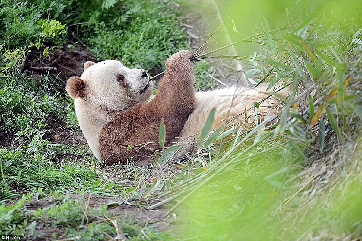 Qizai subsists on a diet of about 20kg of bamboo a day, and weighs more than 100kg.