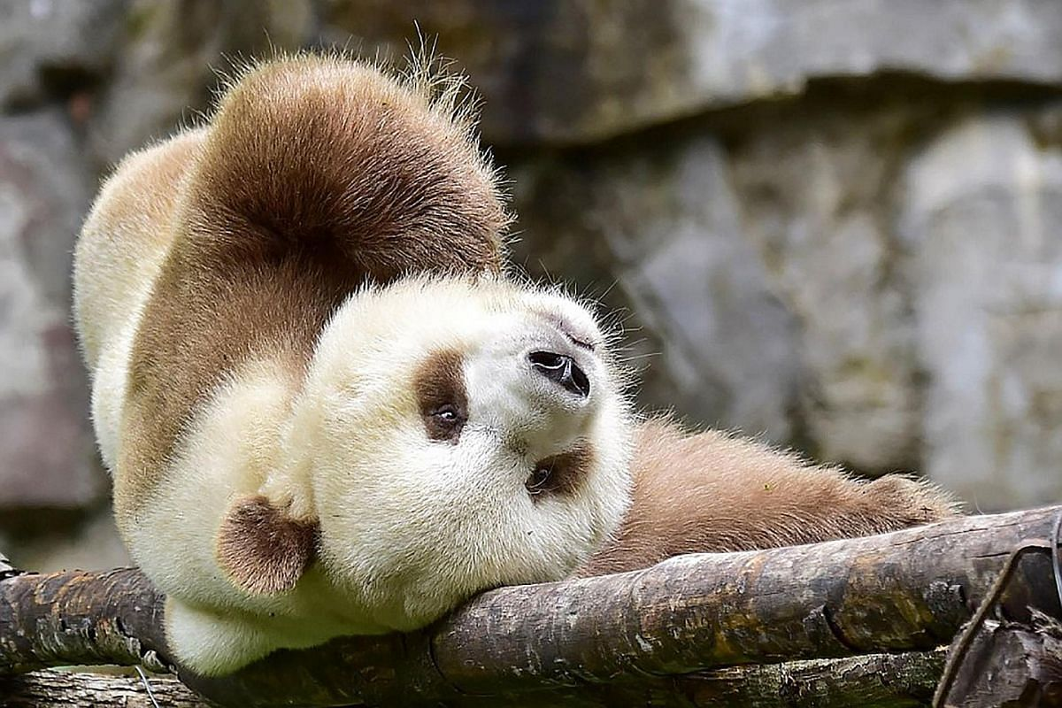 The seven-year-old panda is being prepared for mating by researchers at the reserve.
