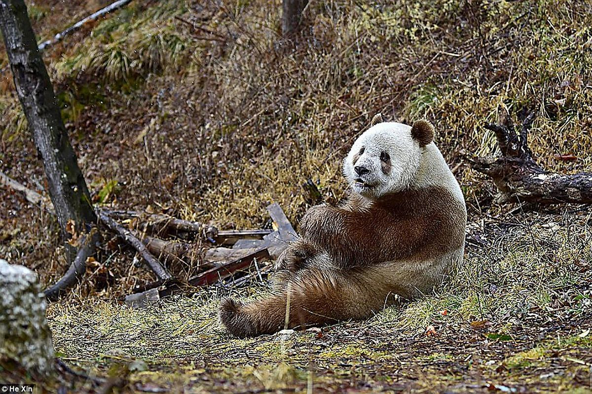 As a cub, the brown panda was rejected by the other pandas in the reserve, who took its food.