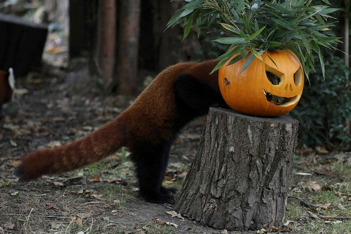 A Red Panda searches for food inside a carved Halloween pumpkin in its enclosure as part of the Enchantment event at Chester Zoo in Chester, Britain on Oct 24, 2016.