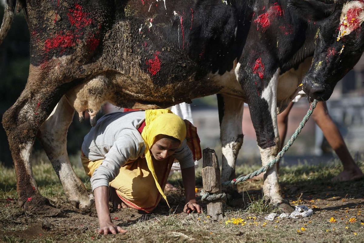 A Nepalese Hindu passes under a cow during the Gai Puja, also known as the Cow Worship Day, as part of the Tihar festival in Kathmandu, Nepal on Oct 30, 2016.