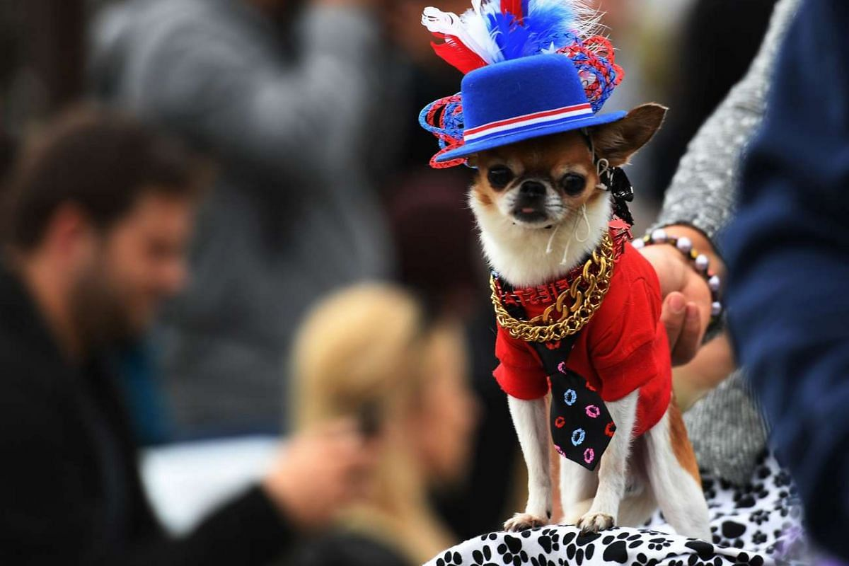 Dogs dressed in Halloween costumes are displayed during the annual Haute Dog Howl'oween parade in Long Beach, California on Oct 30, 2016.