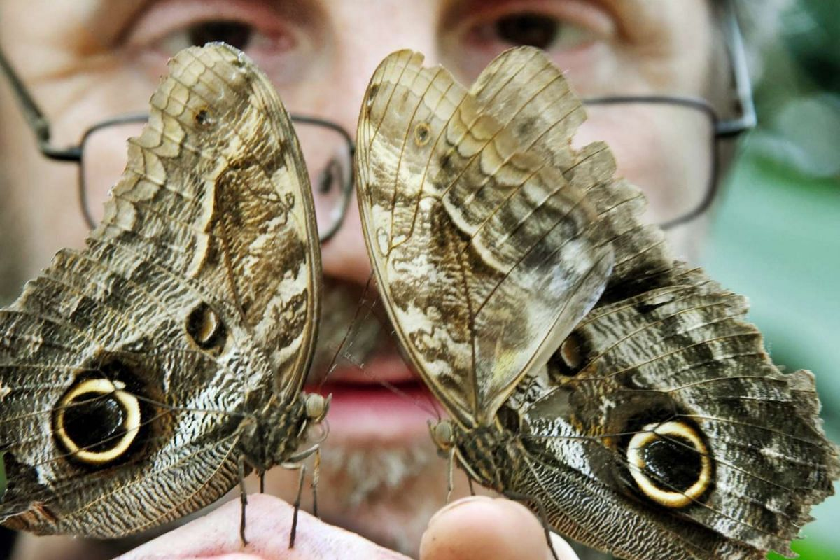 Alaris park Director Georg Kersten Liebold holding up two owl butterflies at the Alaris butterfly park in Wittenberg-Lutherstadt, Germany, on Oct 30, 2016.