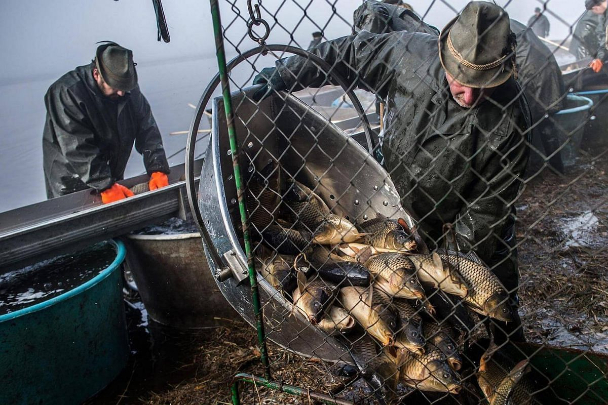 Czech fishermen sort fish during the traditional Carp haul at Lake Zablatsky, Czech Republic, on Oct 31, 2016.