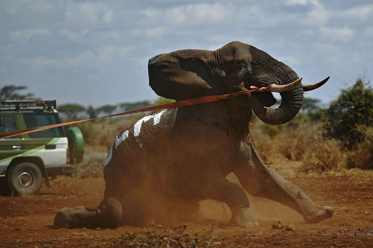 An elephant wearing a fitted electronic collar gets up after its tranquiliser was reversed by vets at the Amboseli National Park on Nov 2, 2016.