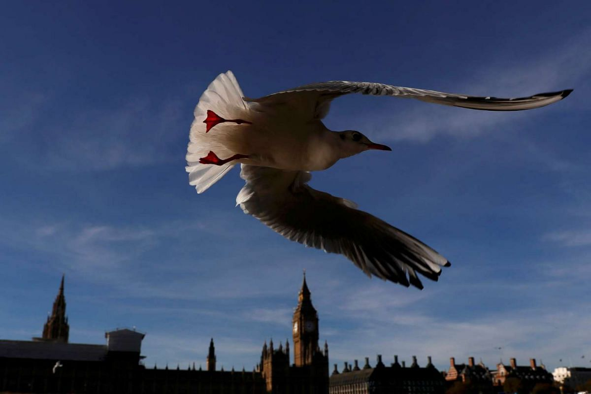 A seagull flies past the Houses of Parliament in central London, Britain on Nov 2, 2016.