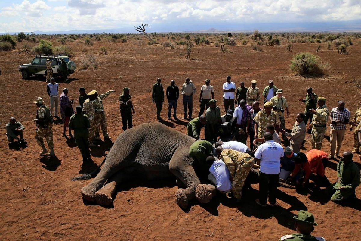 Kenya Wildlife Service (KWS) and the International Fund for Animal Welfare (IFAW) fit an elephant with an advanced satellite radio tracking collar to monitor its movement.