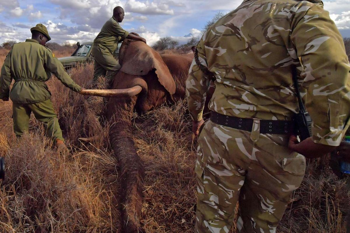 Veterinarians and park rangers attend to a sedated elephant outside Amboseli National Park on Nov 2, 2016.