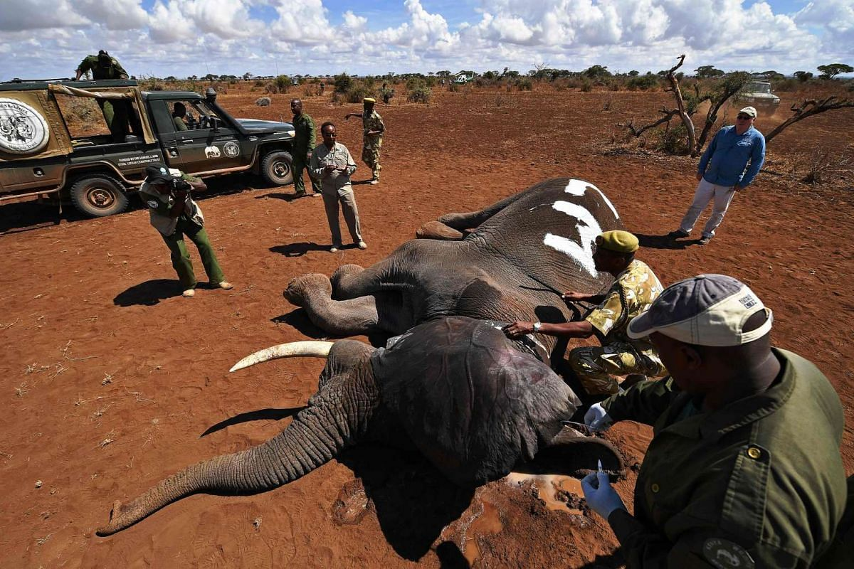 A tranquilised male bull elephant is fitted with an electronic collar outside the Amboseli National Park on Nov 2, 2016.