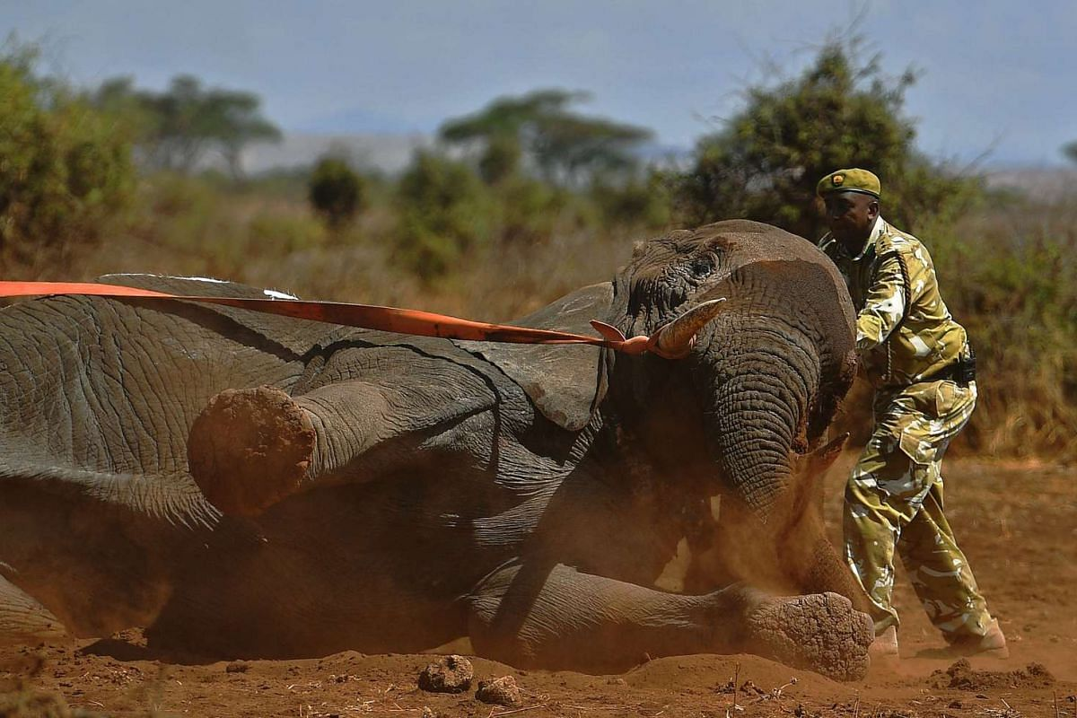 An elephant wearing a fitted electronic collar begins to wake up as its tranquiliser is reversed by vets at the Amboseli National Park on Nov 2, 2016.
