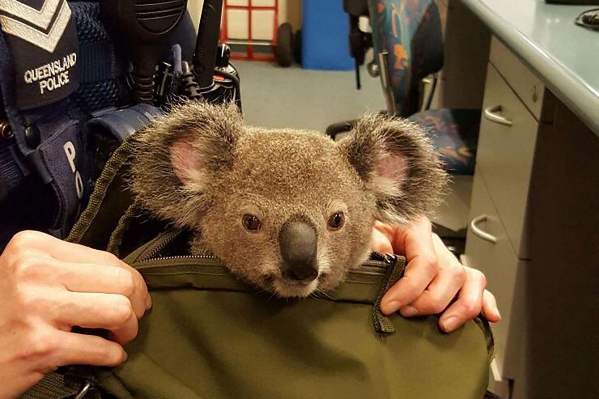 A hand out picture released by Queensland police on Nov 7, 2016 shows a police officer taking care of a baby koala in Brisbane.