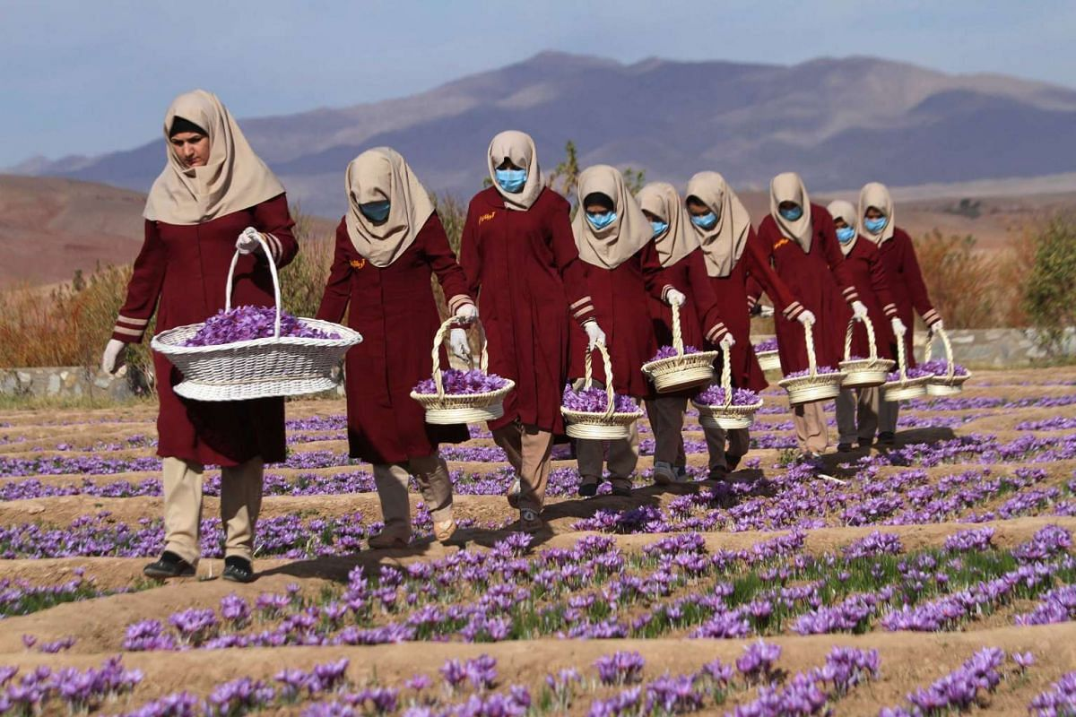 Afghan women collect saffron flowers in the Karukh district of Herat, Afghanistan on Nov 6, 2016.