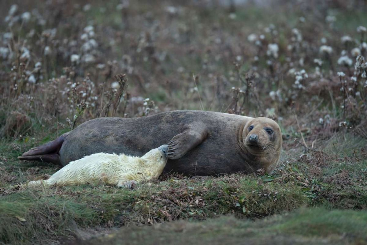 A seal cow tends to her newly born pup on the sand dunes of the Lincolnshire Wildlife Trust's Donna Nook nature reserve near Grimsby, northeast England on Nov 8, 2016.