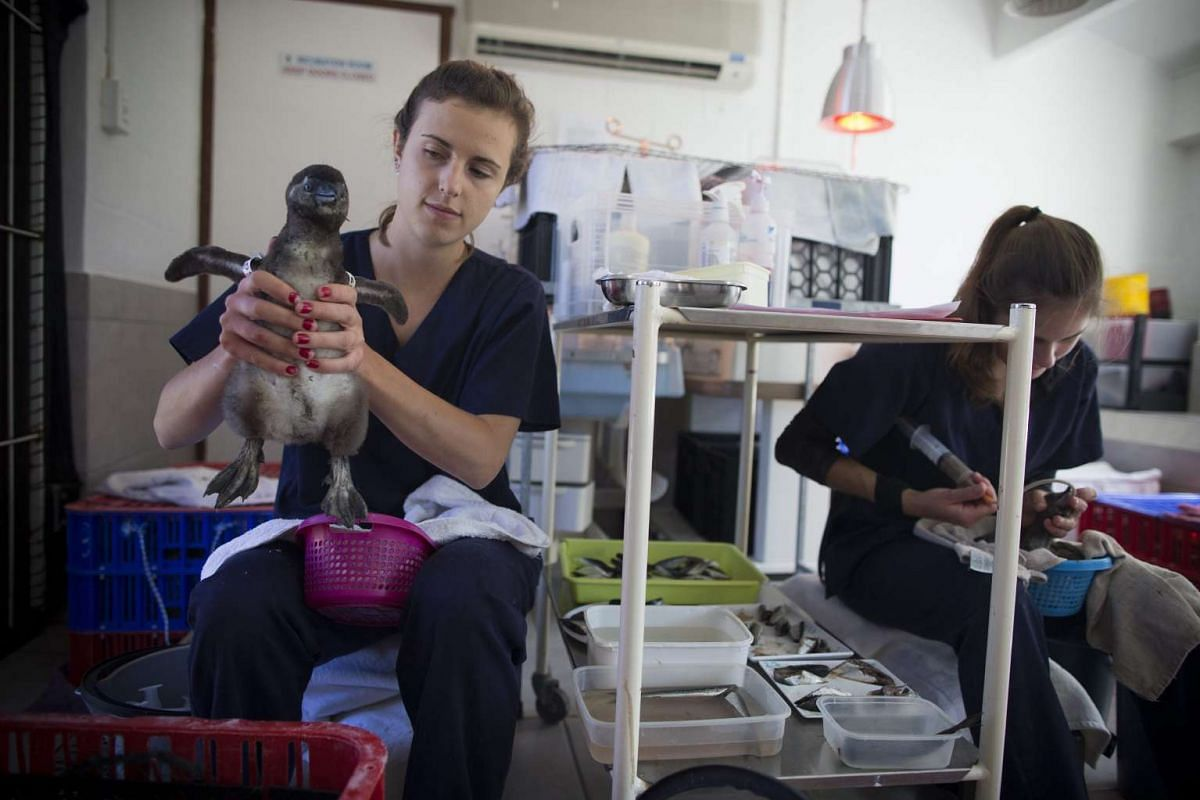 Helena Bruns from Germany (left) prepares to feed a three week old endangered African penguin chick at the Southern African Foundation for the Conservation of Coast birds in Cape Town, South Africa on Nov 9, 2016.