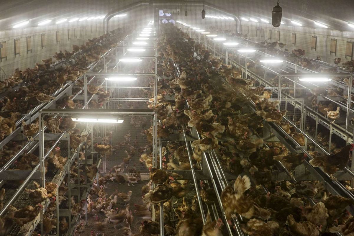 Chicken at a poultry farm in Bergentheim, The Netherlands on Nov 10, 2016.
