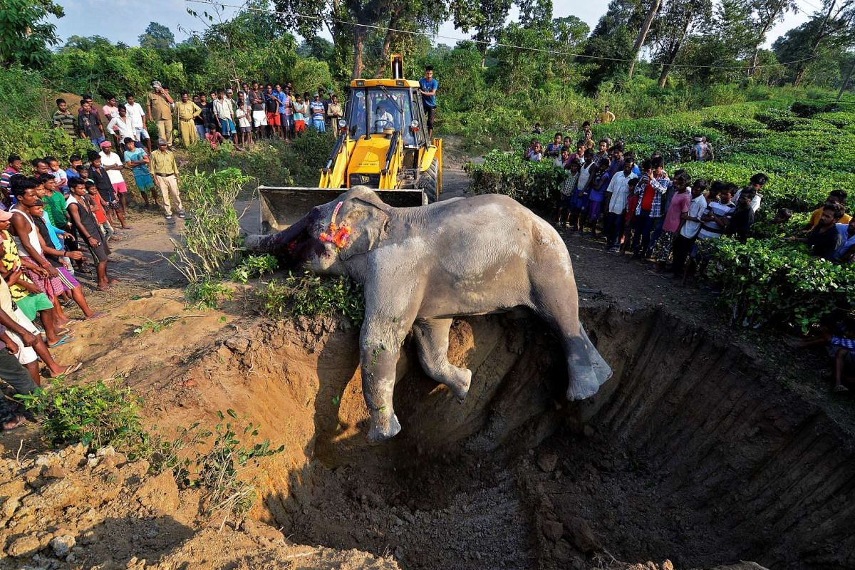 A carcass of a wild elephant, which forest officials say died from electrocution by low-tension electric wires, is pushed into a grave at a tea estate in Nagaon district in the north-eastern state of Assam, India, on Nov  14, 2016.