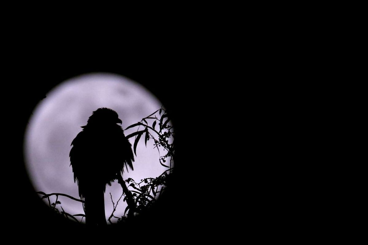 An eagle is silhouetted against the supermoon in Kathmandu, Nepal, on Nov 14, 2016.