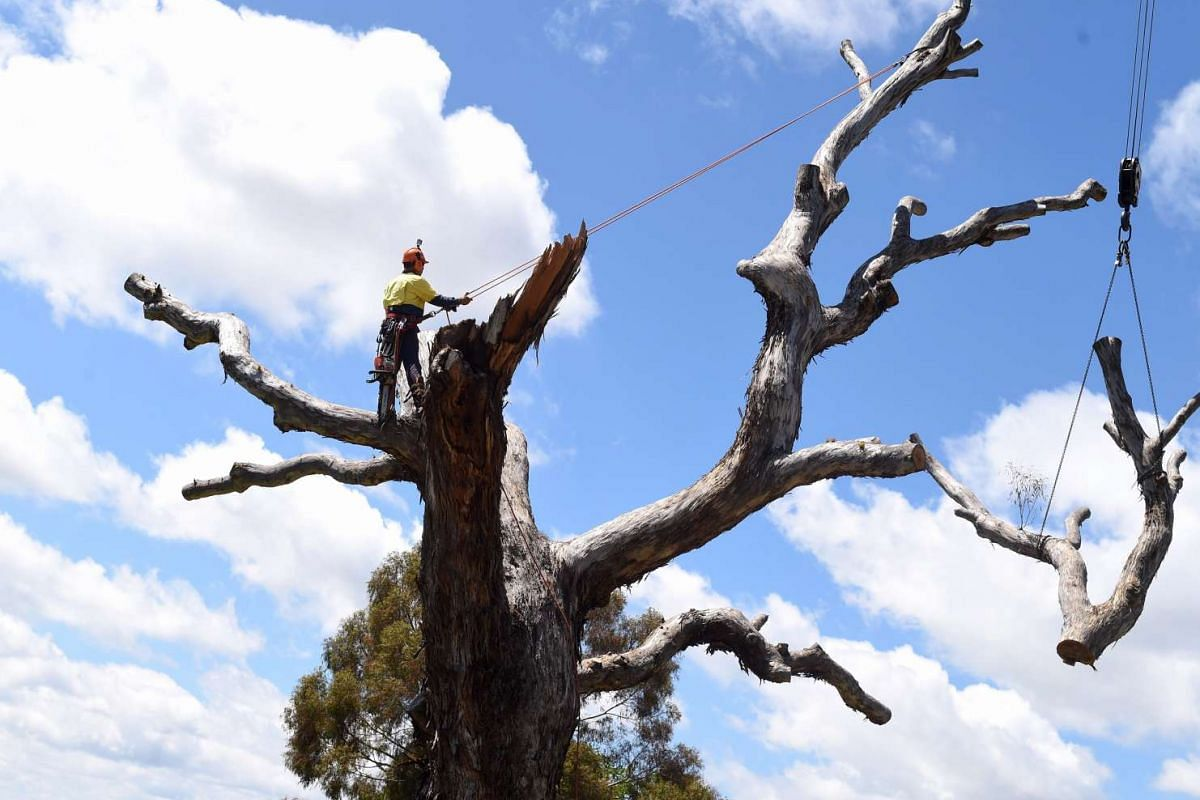 An arborist is seen working in a large Yellow Box gum tree in Canberra, Australian Capital Territory, Australia, November 15, 2016. A 400-year-old Yellow Box gumtree was cut down and moved to a new location where the tree will rest and create new hab