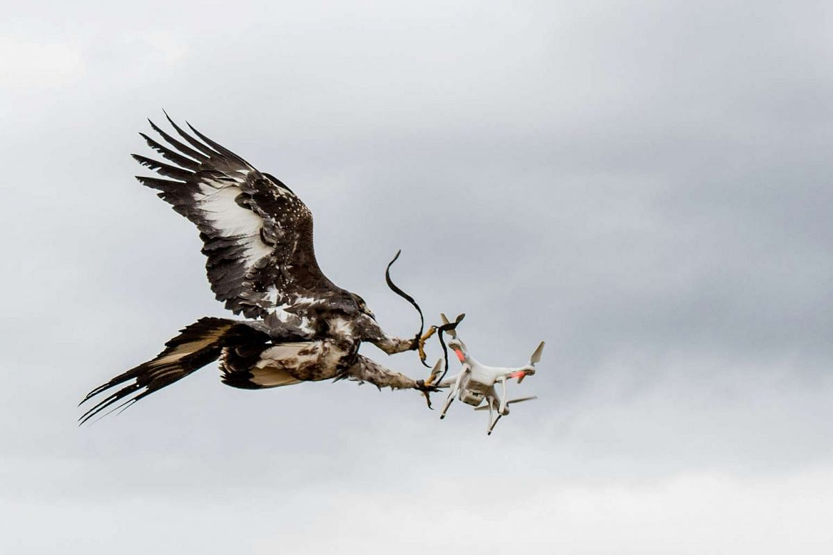 A handout photo released on November 17, 2016 by the French Air Force shows an eagle trained in intercepting drones grasping a drone in its claws during an exercise on October 25, 2016 at an unnamed airbase in France. PHOTO: AFP/FRENCH AIR FORCE