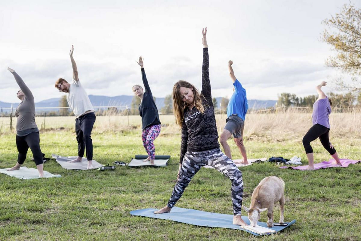 Heather Davis leads the yoga class while Annie the goat chews on her notepad during a goat yoga class at No Regrets Farm in Albany, Oregon on Oct 8, 2016.