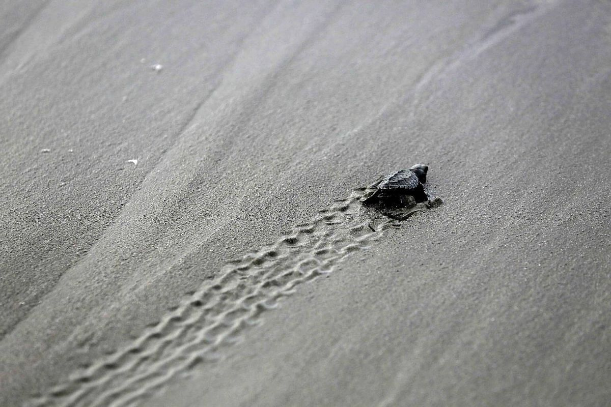 A new born lora turtle (Lepidochelys olivacea) on a beach at the Ostional National Wildlife Refuge (RNVSO) in Guanacaste, North Pacific Coast of Costa Rica, on Nov 21, 2016.