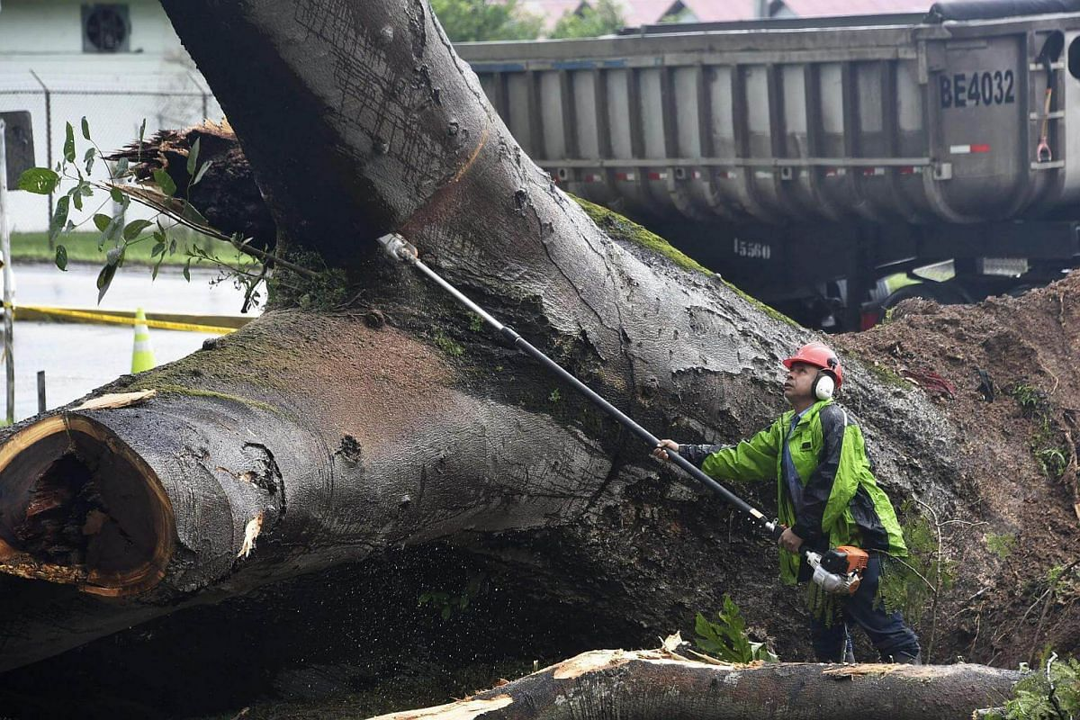 A worker cuts a tree that killed a boy when it fell during a storm in Panama City on Nov 22, 2016.