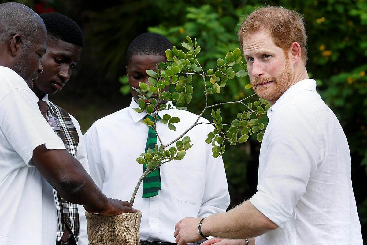 Prince Harry plants a tree during his official visit in St. John's, Antigua, on Nov 22, 2016.