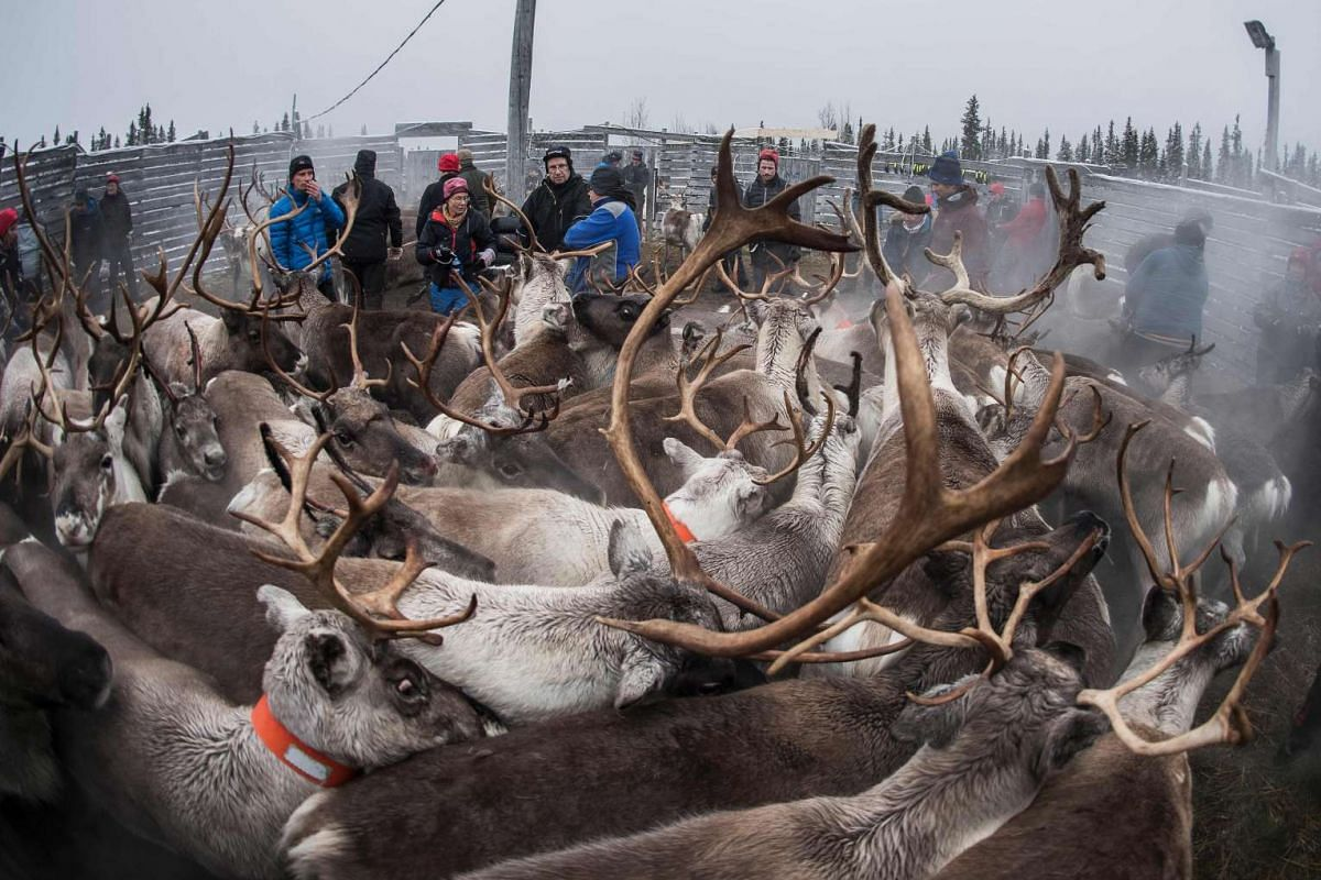 Sami people from the Vilhelmina Norra Sameby, gathering their reindeers herd in a corral for selection and calf labelling near the village of Dikanaess, about 800 kilometers north-west of the capital Sweden, on Oct 27, 2016.