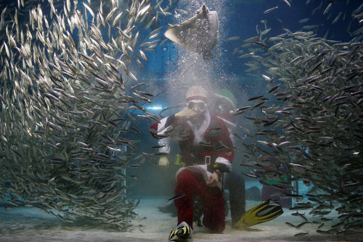 "Santa Claus looks out for fish too apparently. Visitors to the Coex Aquarium in Seoul, Korea, on Dec 17, 2016, got to watch a special Christmas ""Sardines Feeding Show with Santa Claus""."