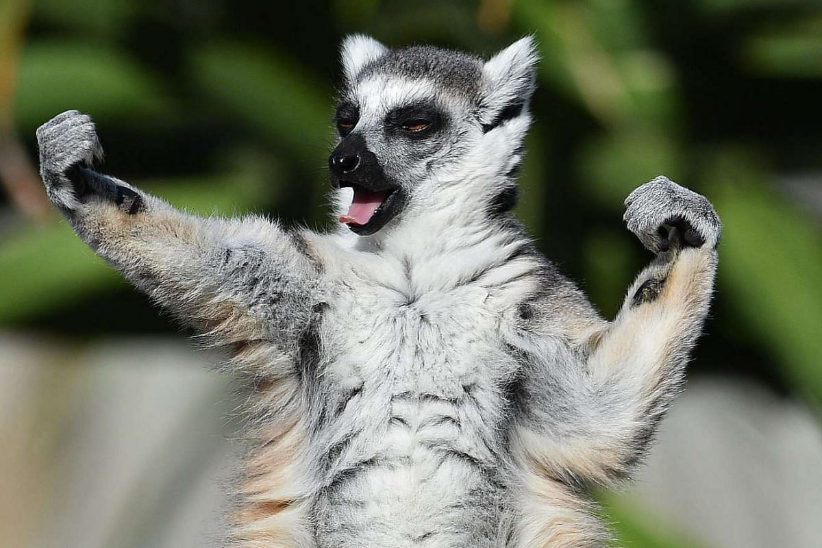 A ring-tailed lemur sunbakes at Melbourne Zoo in Melbourne, Victoria, Australia, December 21, 2016.  PHOTO: EPA