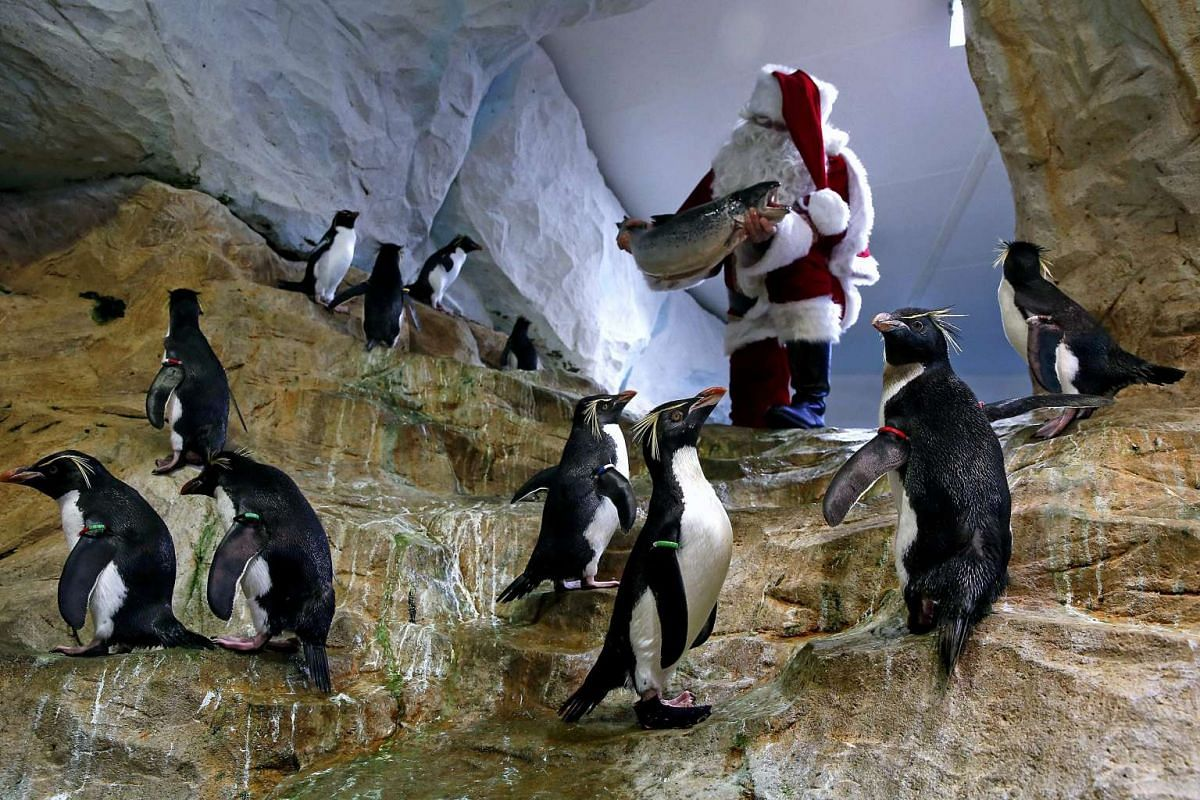 A man dressed as Santa Claus holds a fish in front of Royal Penguins at the animal exhibition park Marineland in Antibes, southern France, December 21, 2016. PHOTO: EPA