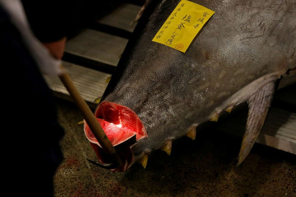 A wholesaler checking the quality of fresh tuna displayed at the Tsukiji fish market before the New Year's auction in Tokyo, on Jan 5, 2017.