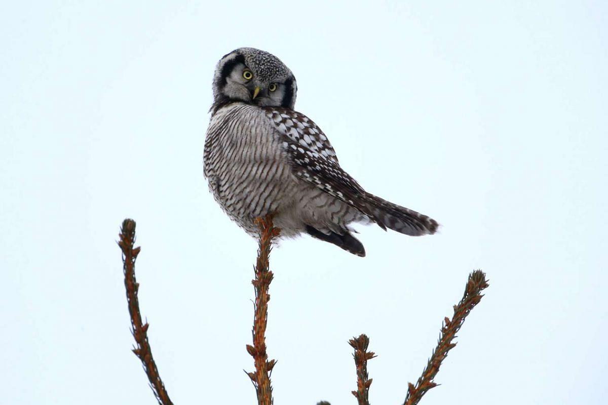 A hawk owl sits on a fir branch near the village of Vasilkova, Belarus January 9, 2017. PHOTO: REUTERS
