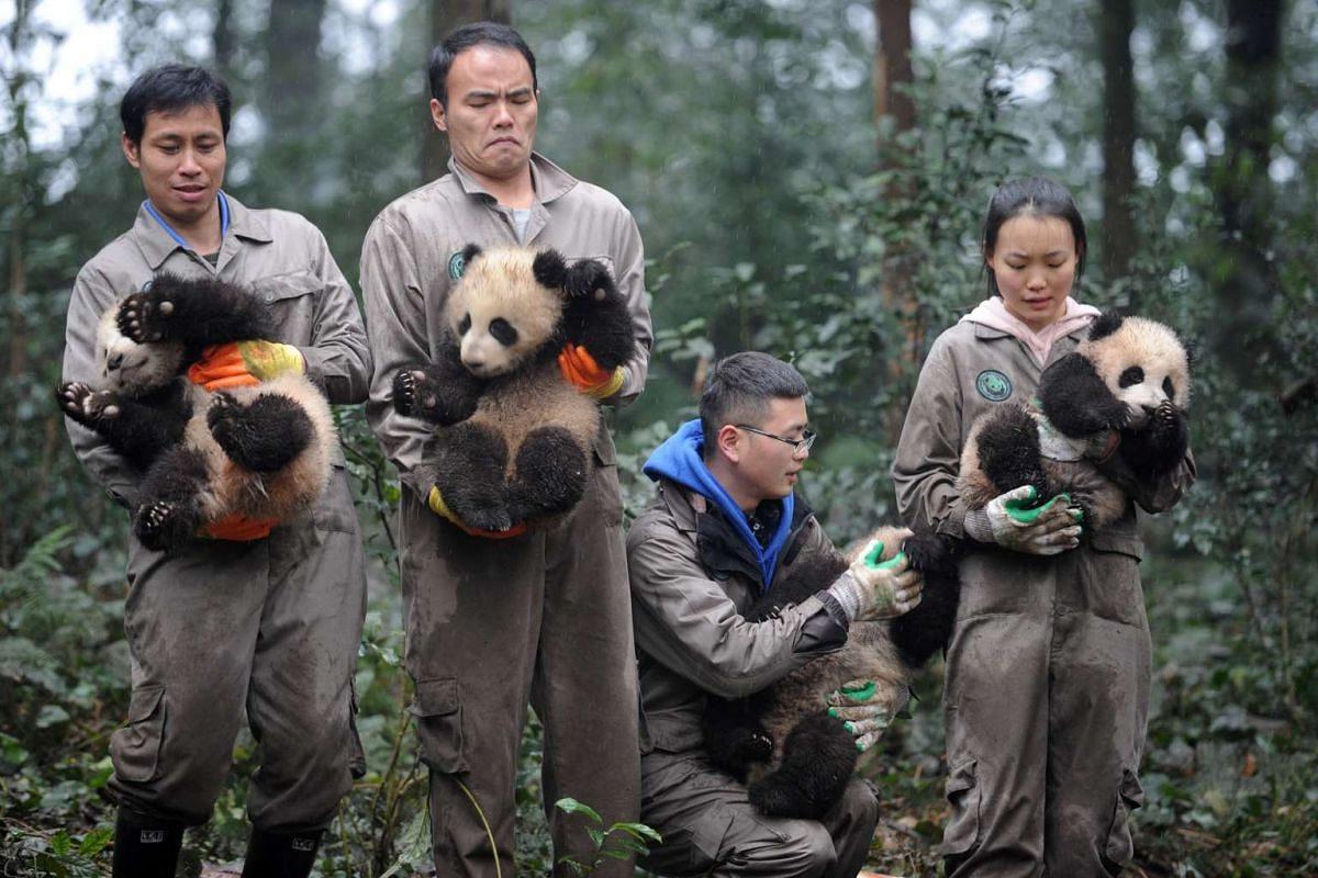 Researchers hold giant panda cubs during an event to celebrate China's Lunar New Year in a research base in Ya'an, Sichuan province, China January 11, 2017.  PHOTO: REUTERS/CHINA DAILY