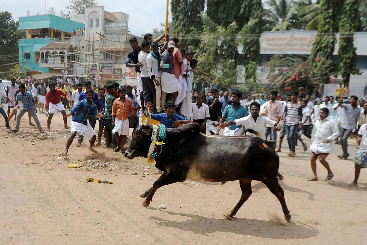 A bull charging through a crowd of Indian participants and bystanders during Jallikattu, an annual bull fighting ritual, on the outskirts of Madurai, on Jan 15, 2017.
