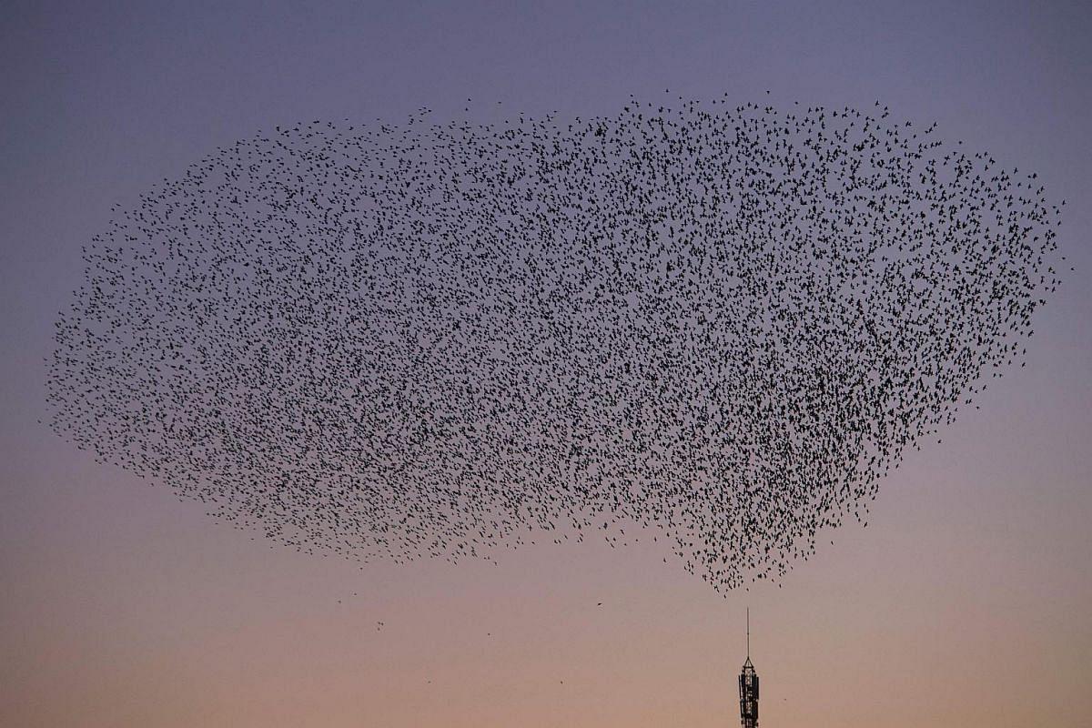 A murmuration of starlings in the sky of Pontevedra, northwestern Spain.