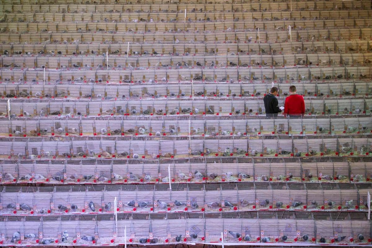 Pigeon fanciers inspect birds displayed in their cages at the annual two-day 'British Homing World Show of the Year' held in the Winter Gardens in Blackpool, north west England on January 22, 2017. PHOTO: AFP