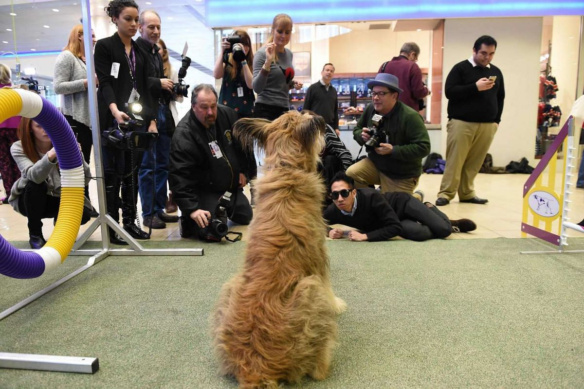A Berger Picard during a press conference by the Westminster Kennel Club on Jan 30, 2017 in New York to show off the new breeds eligible to compete in the 141st Westminster Kennel Club Dog Show.