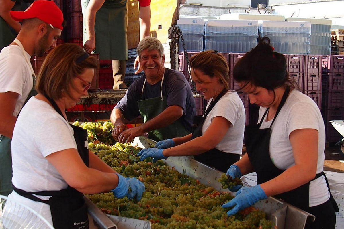 Fresh from the vineyards, Schola Sarmenti winery staff process the grapes by hand.