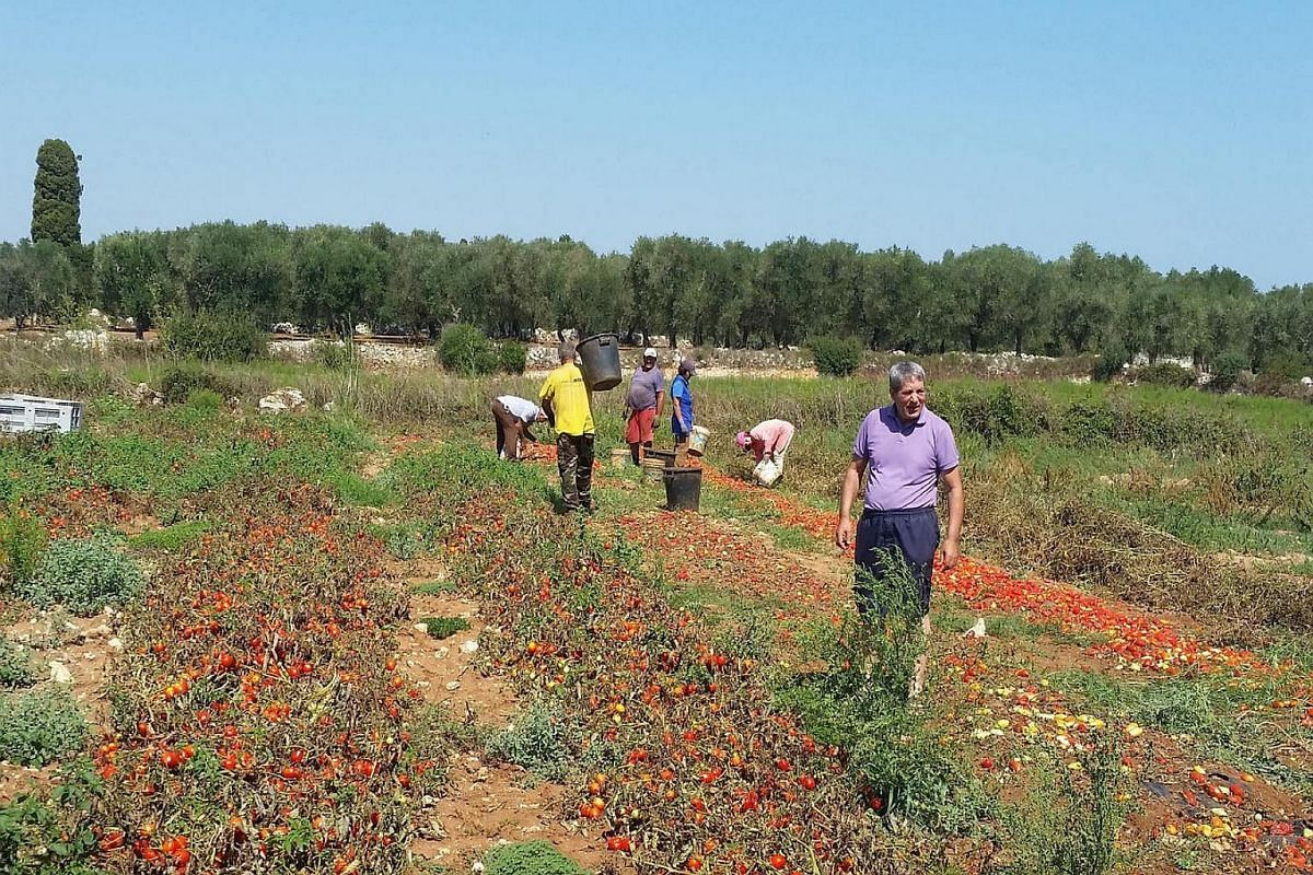 Italian contadini, country men and women, harvesting tomatoes from fields in Salento, the tip of Italy's heel and the southern most region of Puglia.