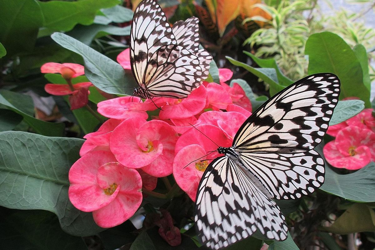 Tree nymphs (above), the biggest butterfly species in Japan, at Kagoshima Flower Park. The writer (left) chasing somen in Tosenkyo. Holidaymakers are buried in thermal sand at the Ibusuki Natural Sand Bath Centre Saraku in Ibusuki, Kagoshima. Vats of