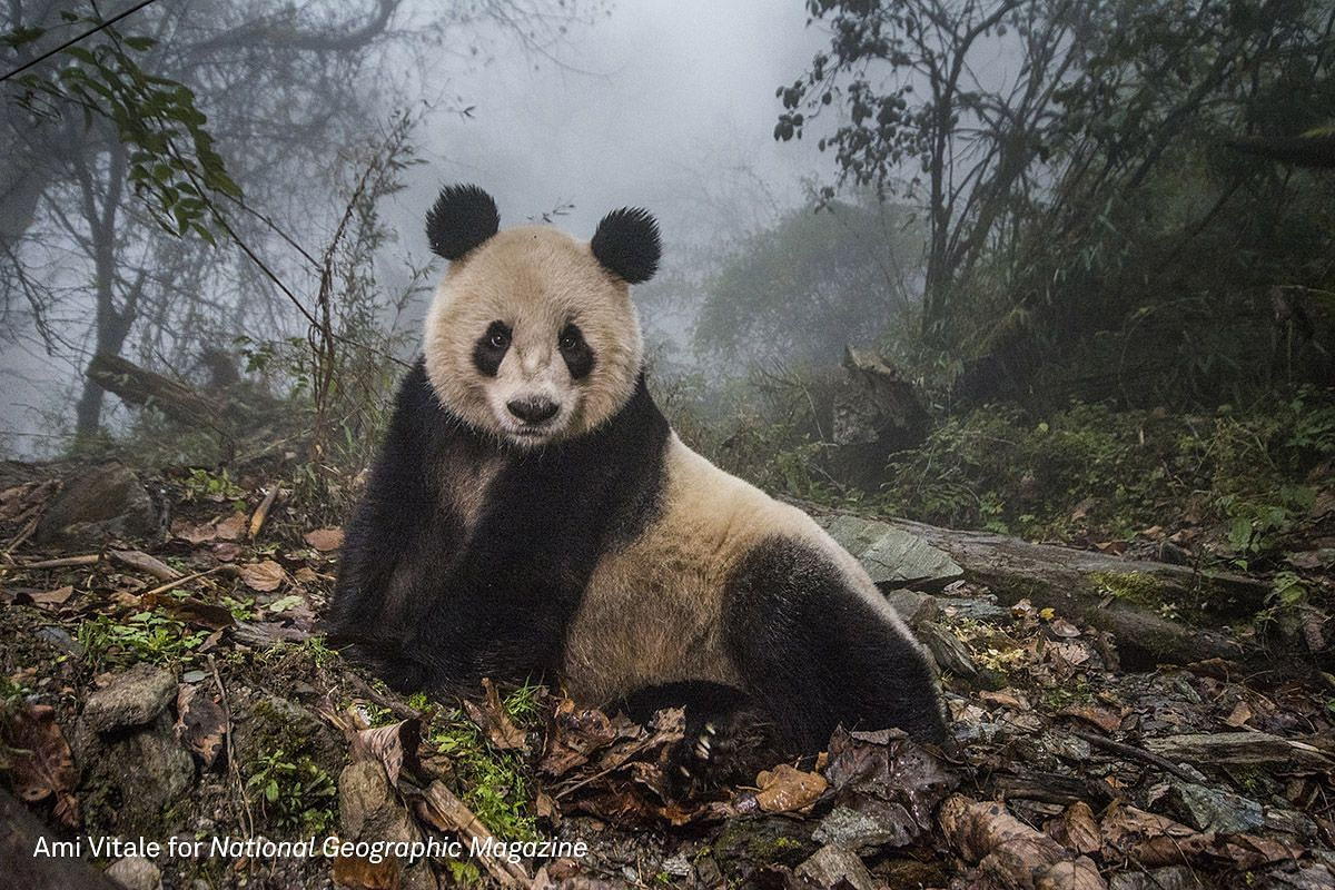 Second Prize Nature (Stories) category. Ye Ye, a 16-year-old giant panda, lounges in a massive wild enclosure at a conservation center in Wolong Nature Reserve
