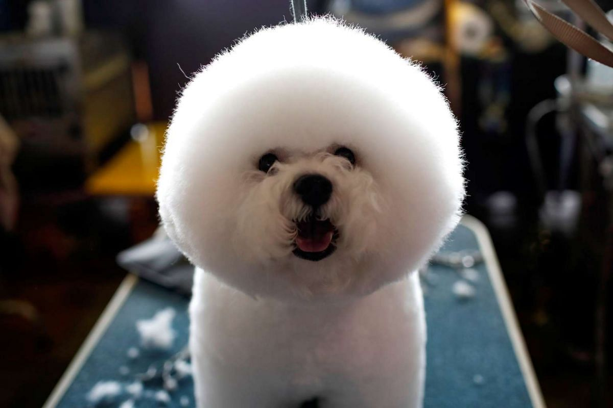 A Bichon Frise stands on a grooming table in the benching area before competition at the 141st Westminster Kennel Club Dog Show in New York City on Feb 13, 2017.