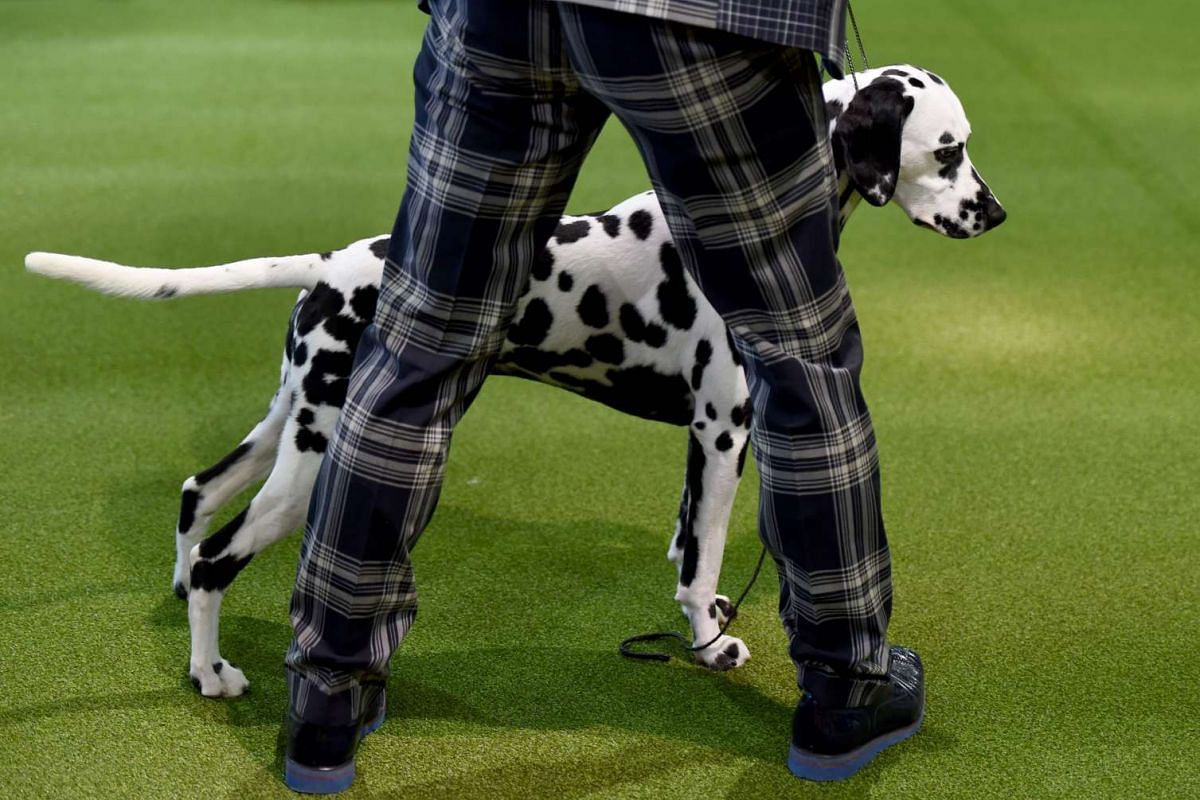 A handler is seen with a Dalmation in the judging ring during Day One of competition at the Westminster Kennel Club 141st Annual Dog Show in New York on Feb 13, 2017.