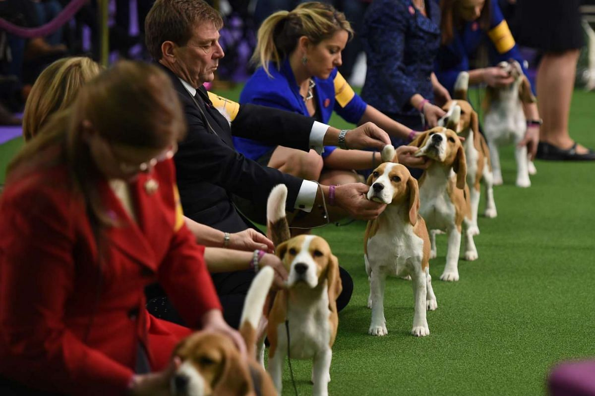 Beagles lining up in the judging area during Day One of competition at the Westminster Kennel Club 141st Annual Dog Show in New York on Feb 13, 2017.