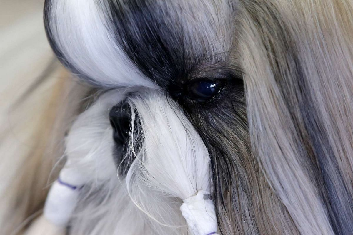 Cody, a Shih Tzu from Cleamont, Florida, sits in the benching area before competition at the 141st Westminster Kennel Club Dog Show in New York City on Feb 13, 2017.